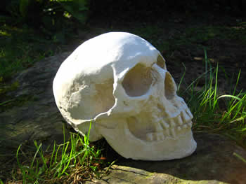 Full Skull Reproduction Pale