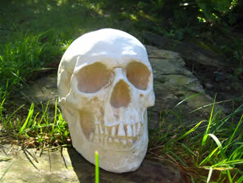 Life Size Skull Full Pale
